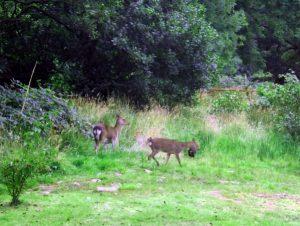 Deer Pair2