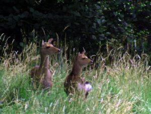Roe Deer pair