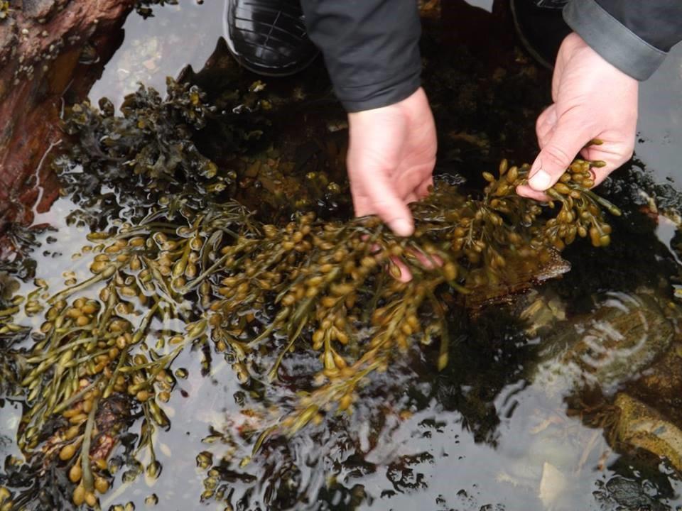 Egg wrack seawead